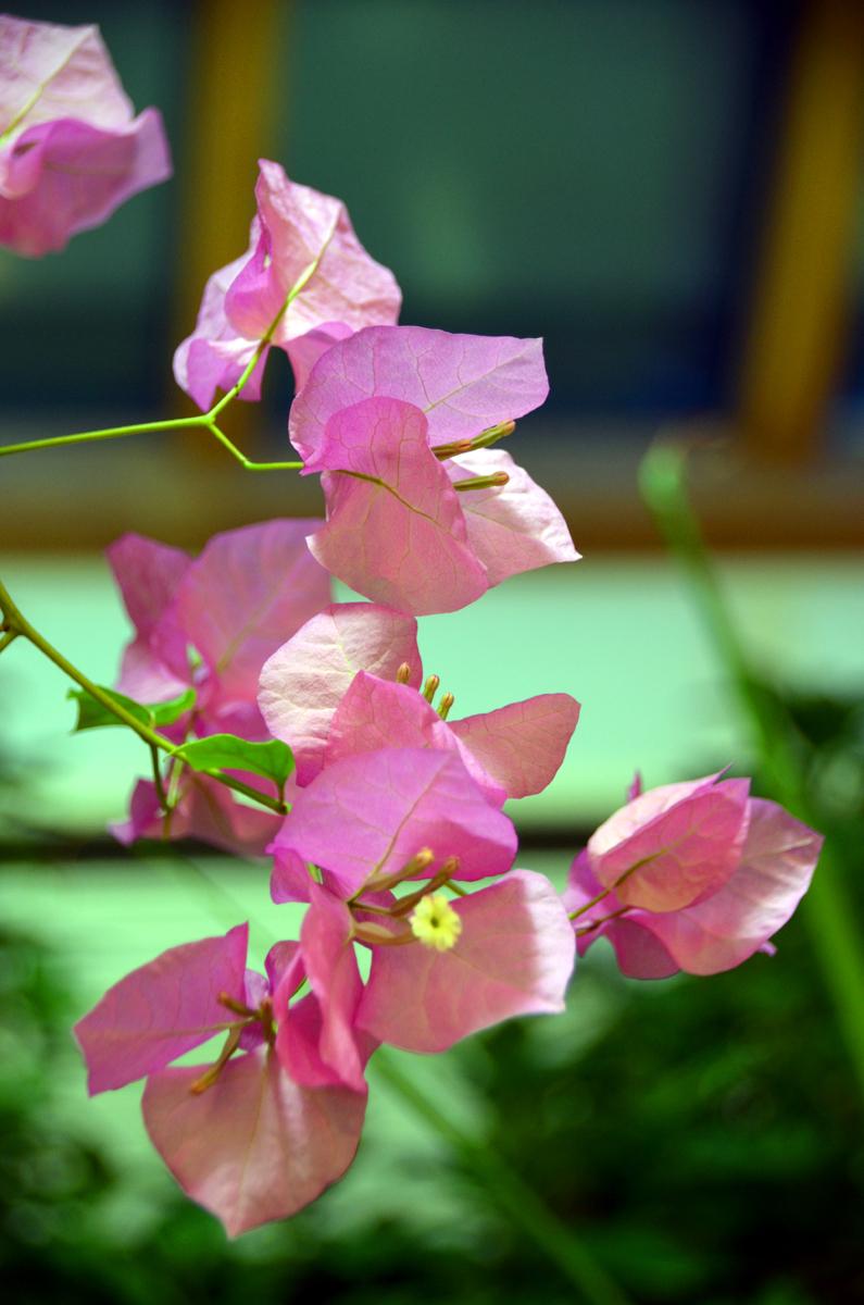 3. Розовая Бугенвилия.