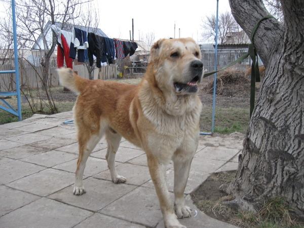 казахский волкодав фото большая, цилиндрическая