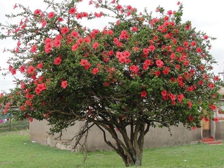Гибискус цветок польза